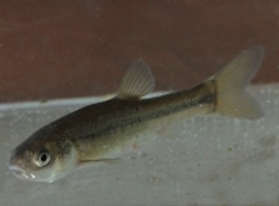 FATHEAD MINNOW GIVE-AWAY SCHEDULED FOR THURSDAY, APRIL 26
