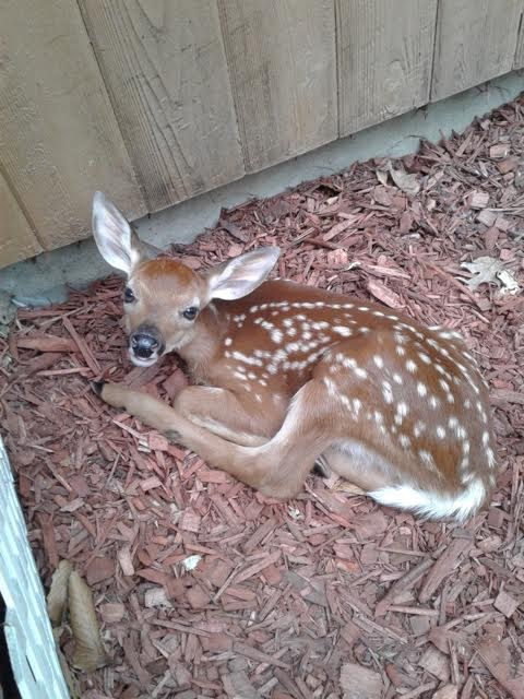 Scenes of Rockland: Baby deer in Valley Cottage flower bed