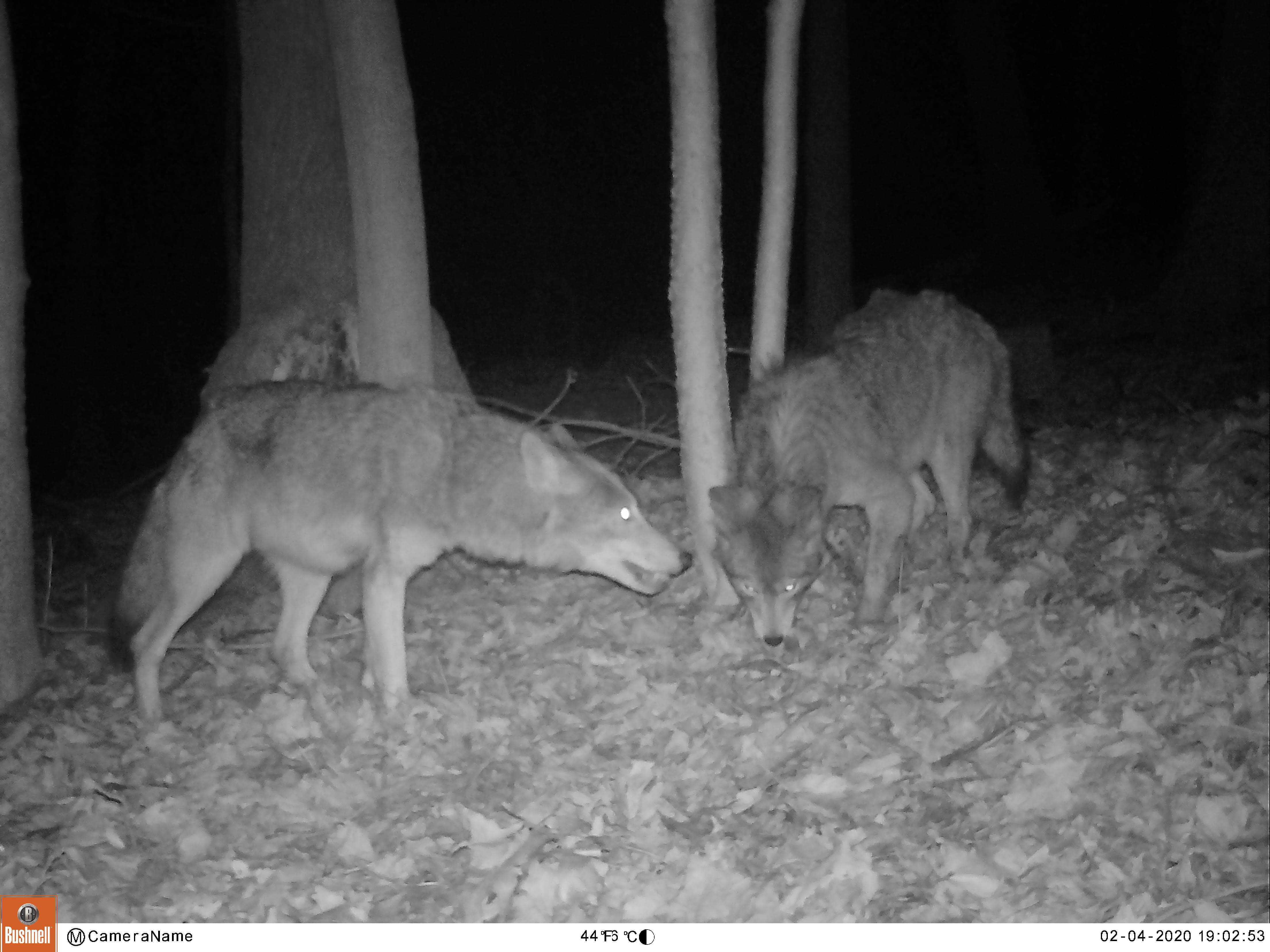 SCENES OF ROCKLAND – Coyotes in Tomkins Cove