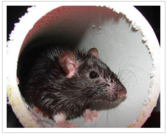 HEALTH DEPARTMENT HAS SEEN INCREASED REPORTS OF RODENT ACTIVITY IN RESIDENTIAL AREAS